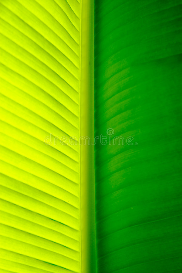 Download Close-up Of A Banana Palm Tree Leaf Stock Image - Image of plant, sapientum: 315549