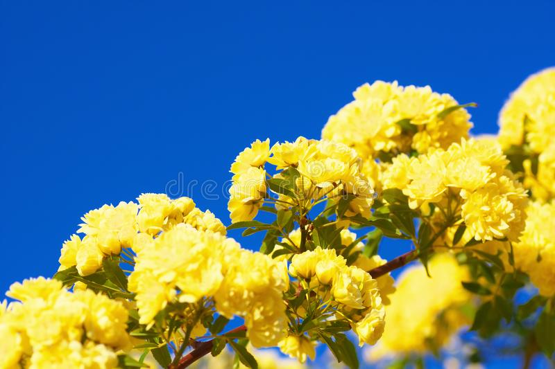 Close up of banksia rose stock images