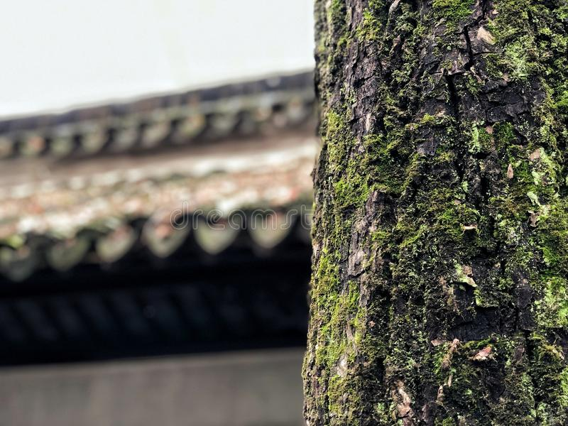 Close up the Bark tree trunk with moss green and fungal isolated in roof house Chinese style, feeling freshness in winter. Close up the Bark tree trunk with stock images