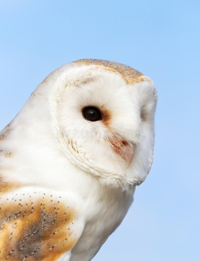 Close up of a Barn Owl against blue background. Close up of a Barn Owl Tyto alba against blue background, England royalty free stock images