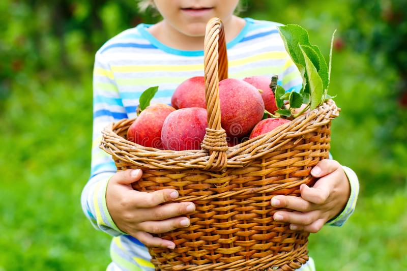 Close-up of basket holding by kid boy picking and eating red apples on organic farm, autumn outdoors. Funny little stock photography