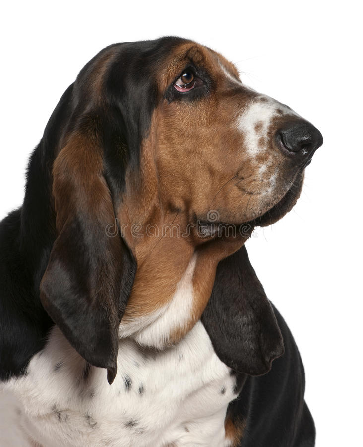 Close-up Of Basset Hound, 2 Years Old Stock Image - Image ...