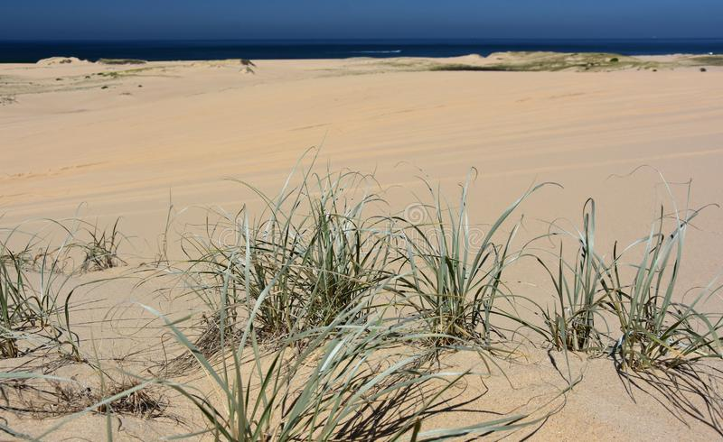 Close up of beach grass at Stockton Beach royalty free stock photography