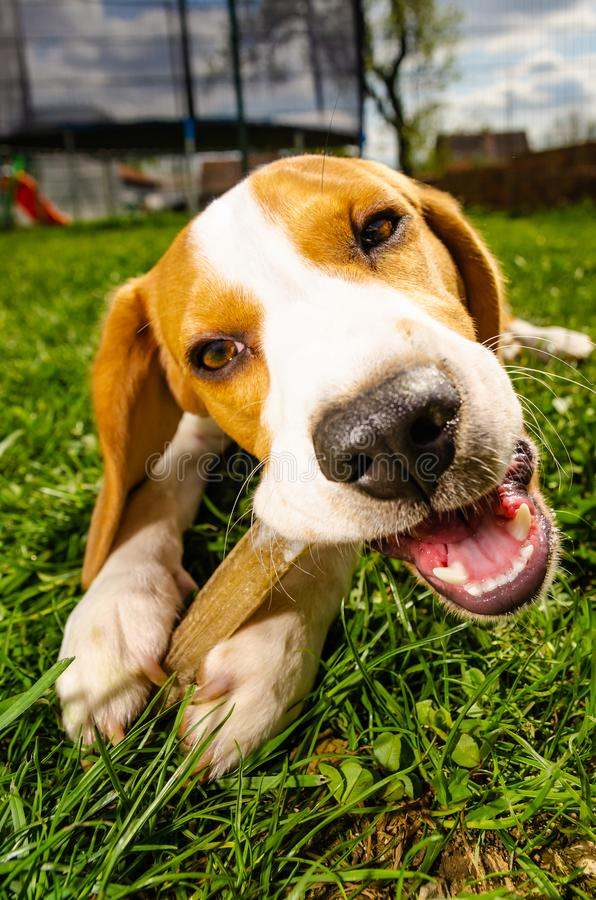 Close-up of Beagle Dog Eating Bone Outside in garden on a grass. Outdoors shoot adult breed male yard lab animal chewing hound pet courtyard canine treat royalty free stock image