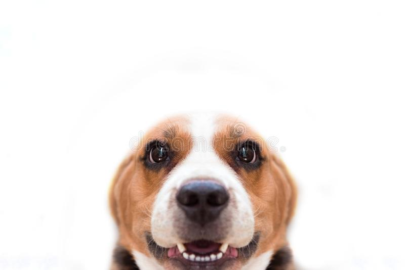 Close up Beagle dog on the white isolated background. Animal and mammal concept. Selective focus on eyes stock photo