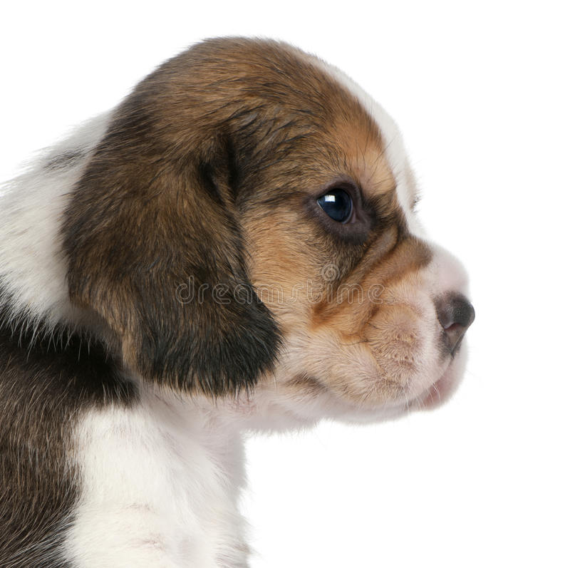Close-up of Beagle Puppy, 1 month old stock images