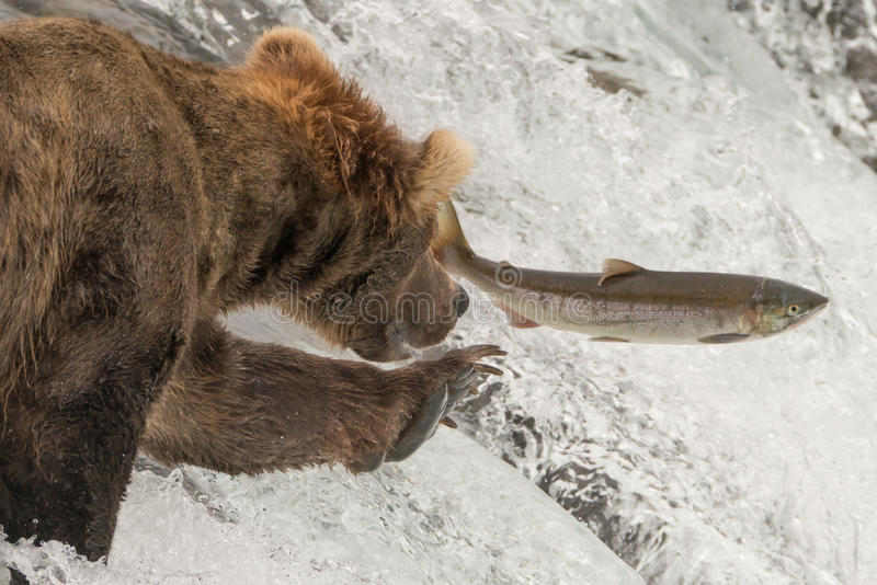 Close-up of bear reaching for leaping salmon royalty free stock photos