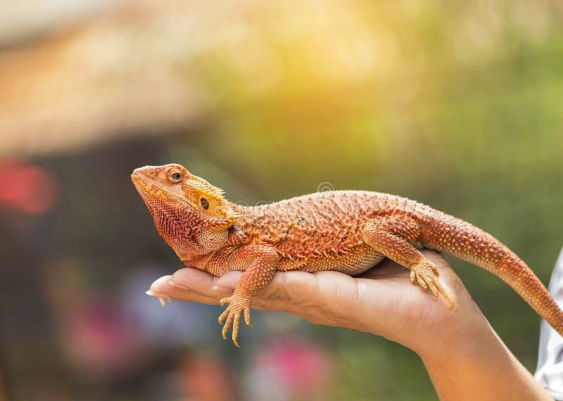 Close up bearded dragon Pogona Vitticeps australian lizard on hand royalty free stock photography