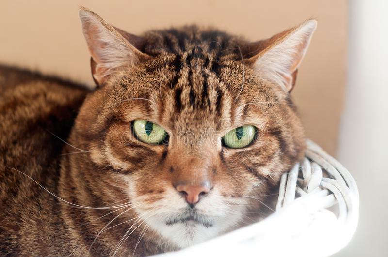 Close up of a Beautiful adult striped cat, laying on a white basket royalty free stock image