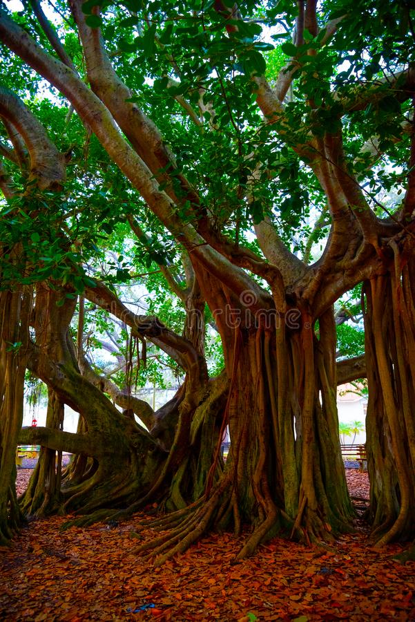 Close up of a beautiful banyan tree in Venice at sunset stock photography