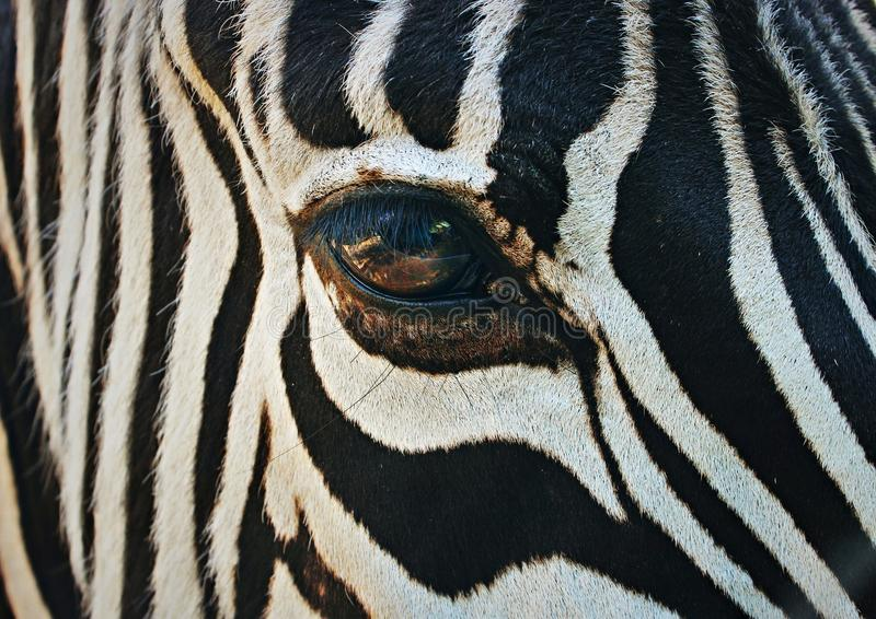 Close up on the beautiful big colorful eye of a zebra stock photos