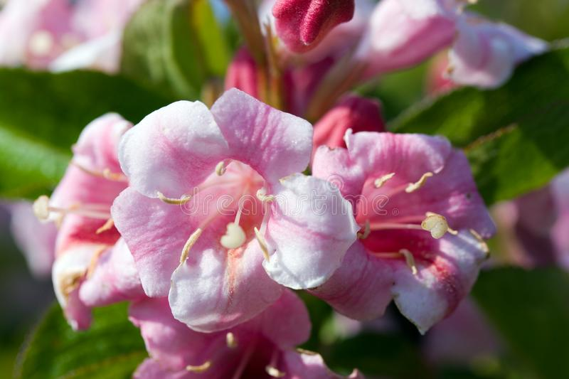 Close up of beautiful blooming peach tree