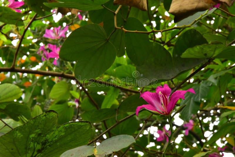 Close up Beautiful Blooming Pink Bauhinia Purpurea Flowers. The Close up Beautiful Blooming Pink Bauhinia Purpurea Flowers in the garden royalty free stock images