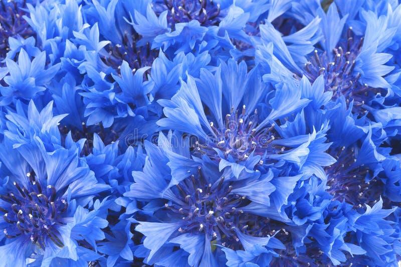 Close up of beautiful blue flower of cornflower. Small bouquet of beautiful vivid blue flowers of cornflower close-up stock photos