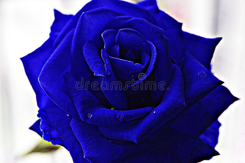 Close-up Beautiful Blue Rose stock images
