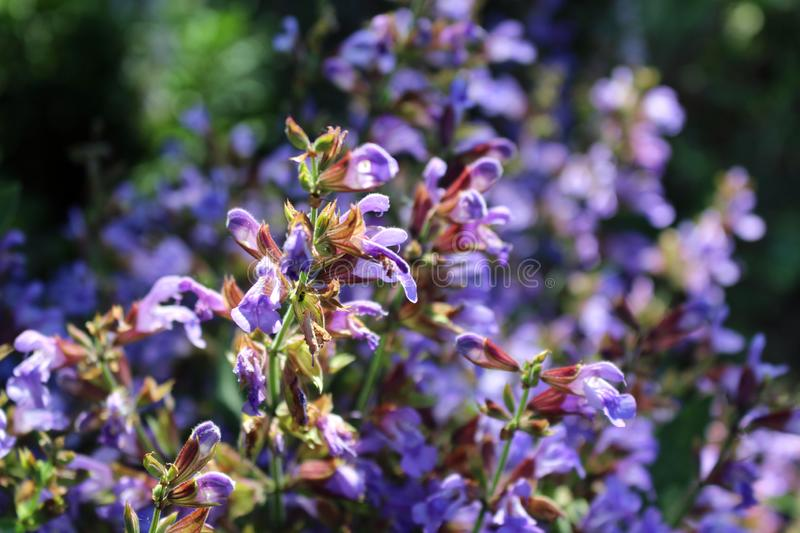 Close up beautiful blue Salvia flower blooming in outdoor garden with blurred background.Purple Salvia is herbal plant in the mint stock photography