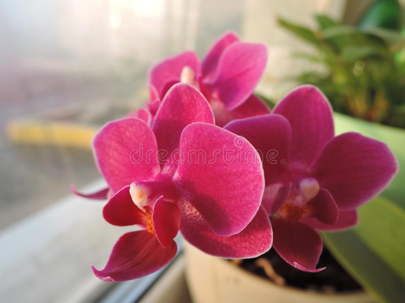 Close-up of a beautiful bouquet of purple pink mini orchids on the windowsill stock image