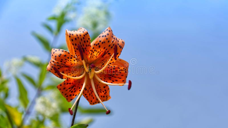 Beautiful bright orange dotted tiger lily against a clear blue sky. Close up of a beautiful bright orange dotted tiger lily against a clear blue sky. there is a royalty free stock photo