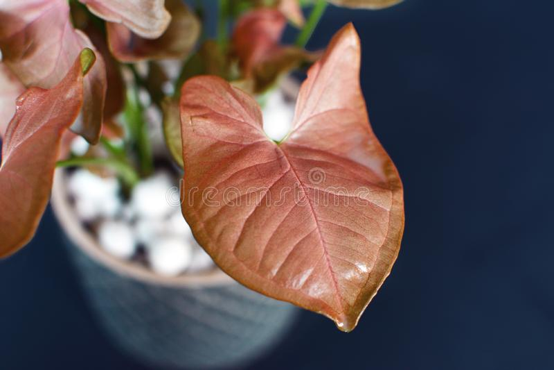 Close up of a bright pink exotic Syngonium Podophyllum Arrow Head vine plant leaf on dark background. Close up of a beautiful bright pink exotic Syngonium stock photos