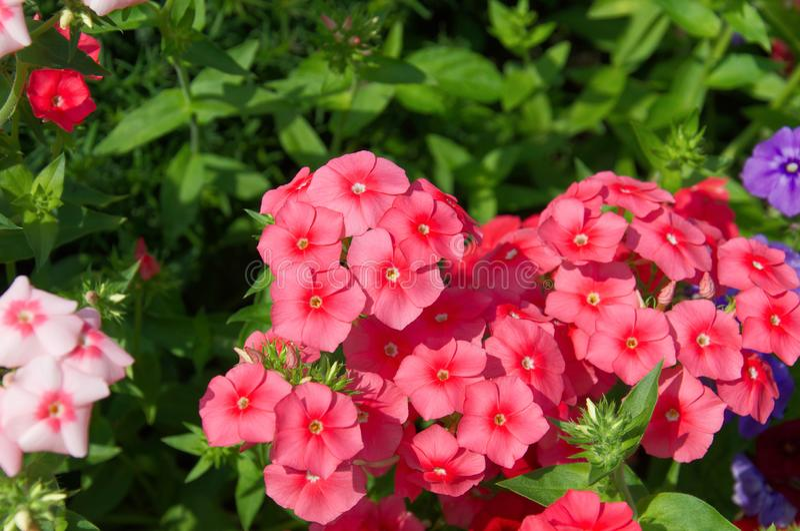 Beautiful bright pink, red and purple phlox flowers. Close-up of beautiful bright pink, red and purple phlox flowers stock photos
