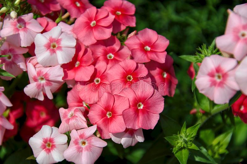 Beautiful bright pink, red and purple phlox flowers. Close-up of beautiful bright pink, red and purple phlox flowers stock image