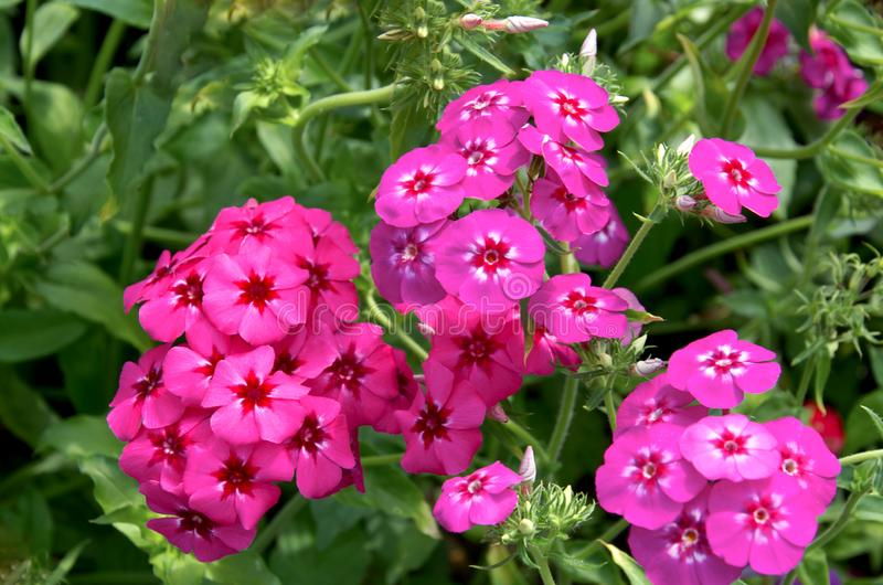 Beautiful bright pink, red and purple phlox flowers. Close-up of beautiful bright pink, red and purple phlox flowers royalty free stock photos