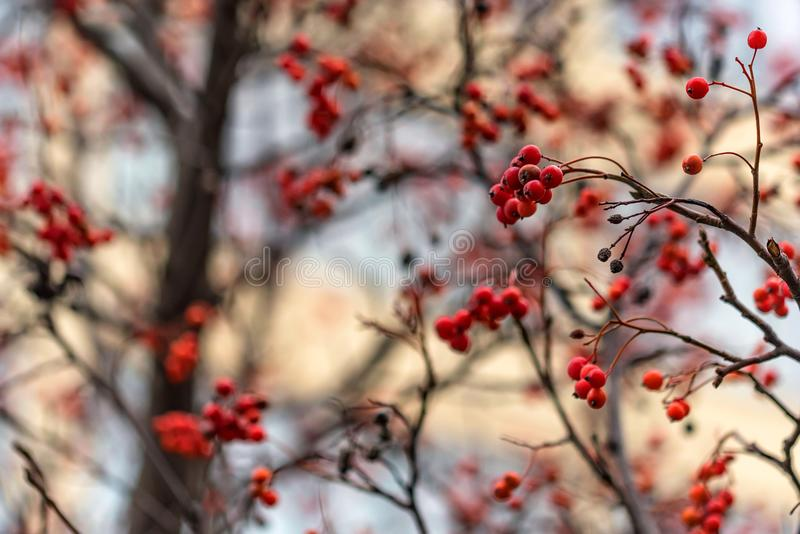 Close up red berries of Sorbus on tree branches royalty free stock photography