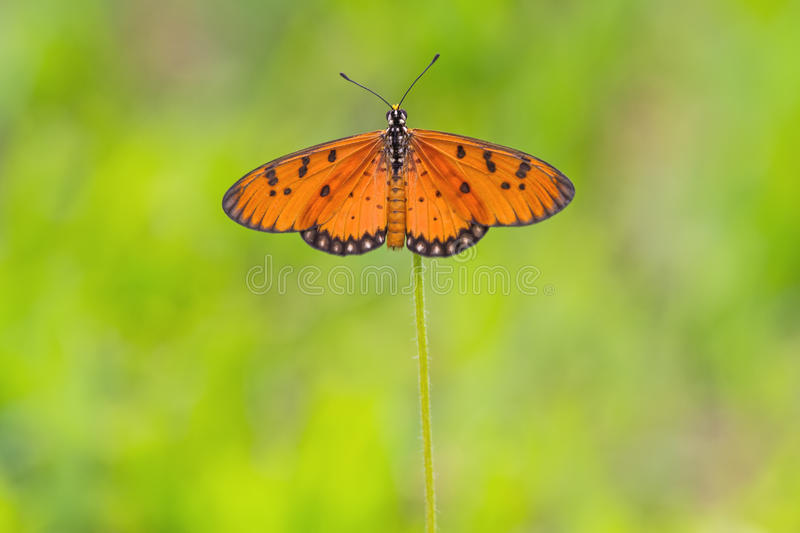 Close up beautiful Butterfly (Tawny Coster, Acraea violae) and royalty free stock photo