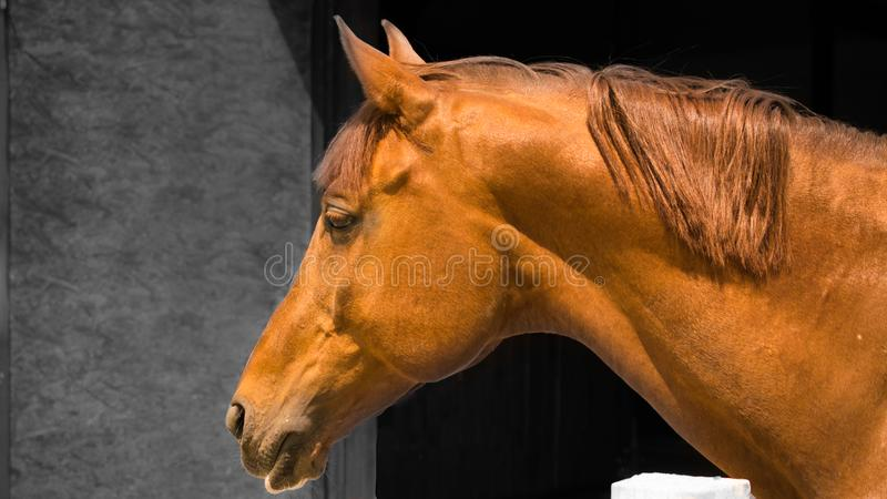 Close up of a beautiful chestnut colored stallion horse in stable stock photo