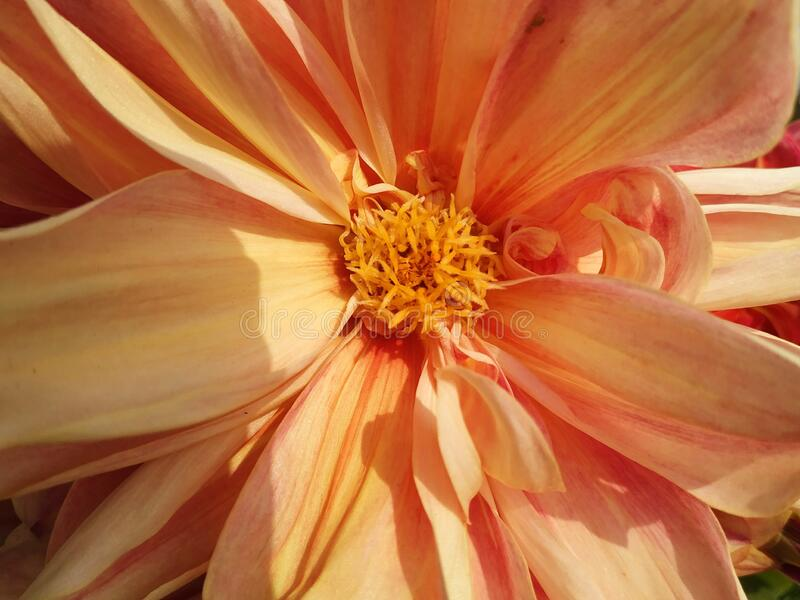 Close-up of beautiful chrysanthemum flower with golden petals in the sunlight. Small flowering plant in a brown ceramic pot. royalty free stock photos