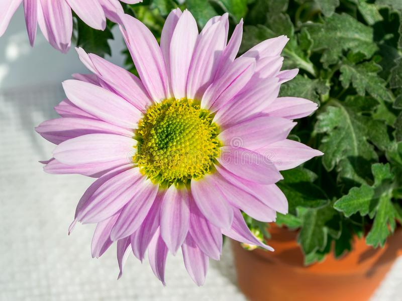 Close-up of beautiful chrysanthemum flower with pink petals in the sunlight. Small flowering plant in a brown ceramic pot. Home. Floriculture as hobby. Top view royalty free stock photography