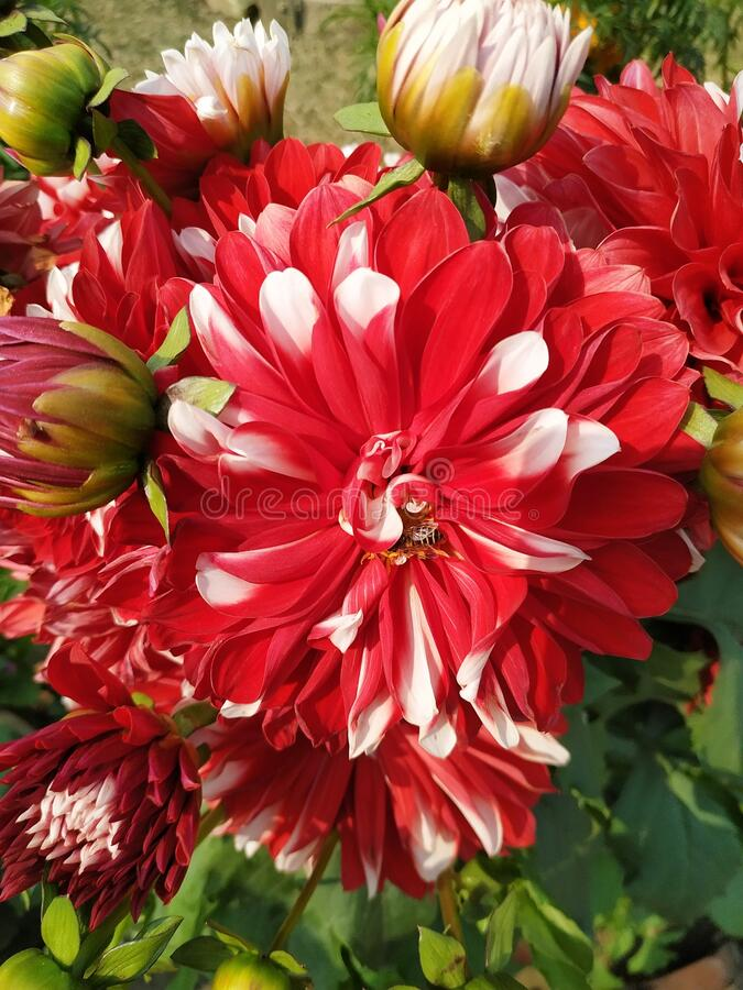 Close-up of beautiful chrysanthemum flower with red and white petals in the sunlight. Small flowering plant in a brown ceramic pot. Parsa stock photography