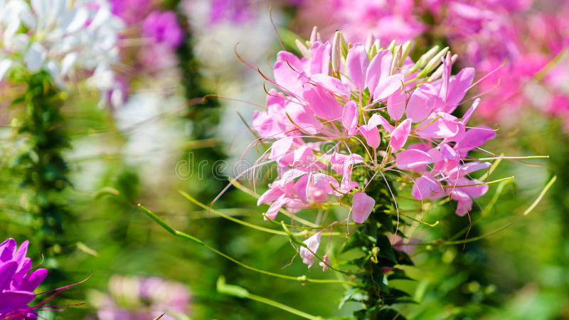 Close up of beautiful Cleome Spinosa. stock photography