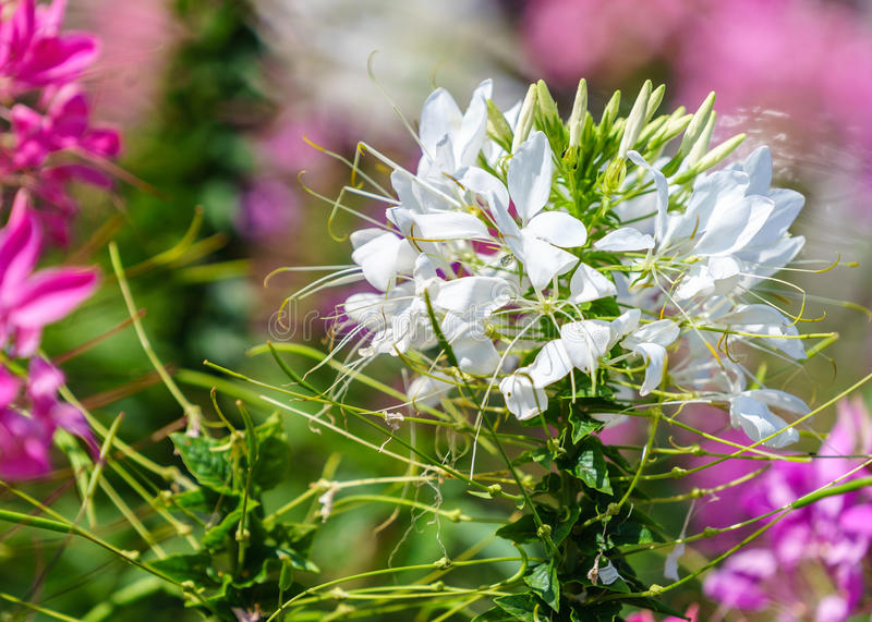 Close up of beautiful Cleome Spinosa stock images