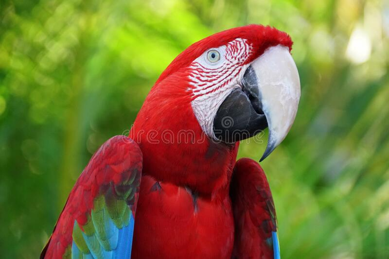 Close up of a beautiful and colorful Scarlet macaw parrot stock image