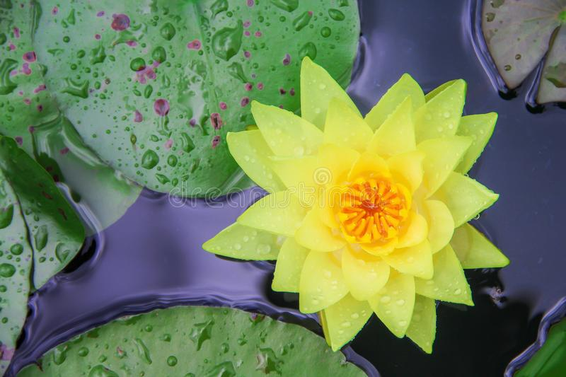Beautiful colorful sweet yellowl lily lotus flowers  with water drops ,  green leaves blooming in  nature pond background top view royalty free stock images