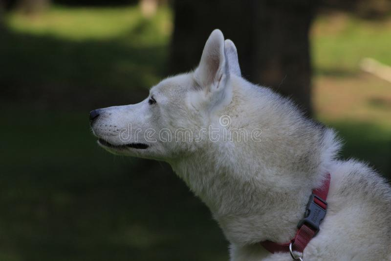 Close up beautiful dog husky, the magestic arctic breed royalty free stock photography