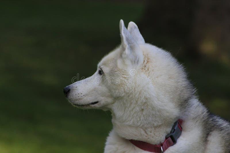 Close up beautiful dog husky, the magestic arctic breed stock photos