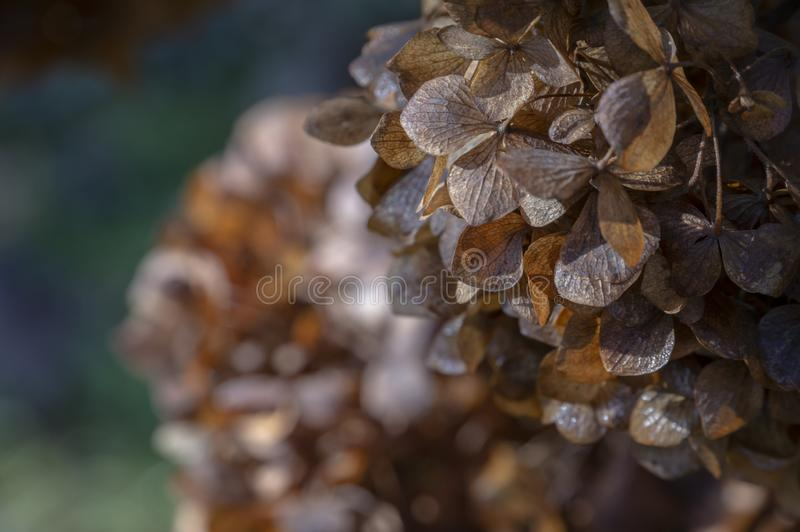 Close up of beautiful Dried Hydrangea flowers on the dark blurred emerald background. stock photos