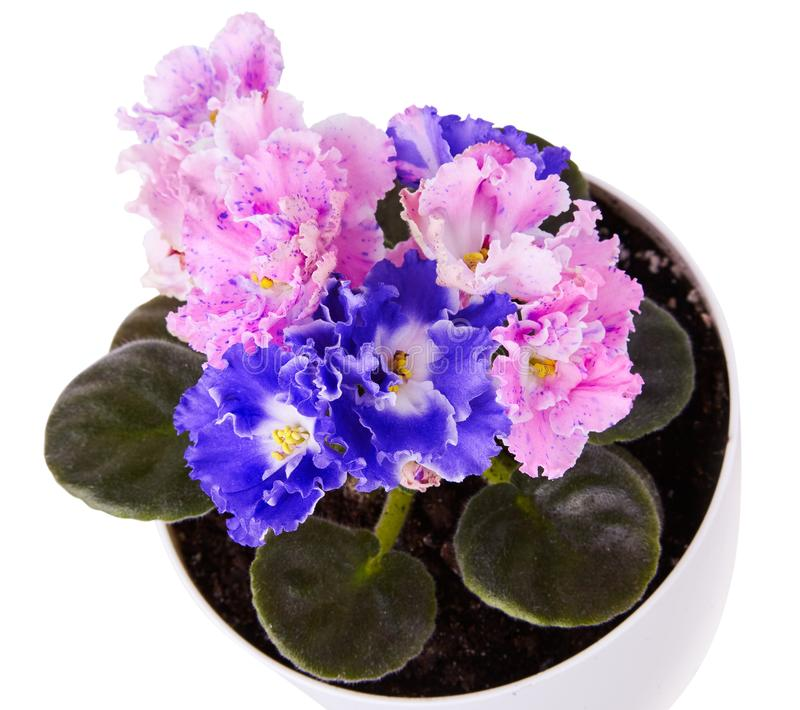 Close up of beautiful duocolor hybrid pink and blue saintpaulia African violets stock photos
