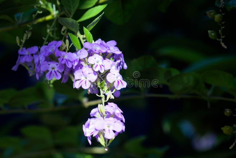 Close up beautiful Duranta erecta flower. stock photography