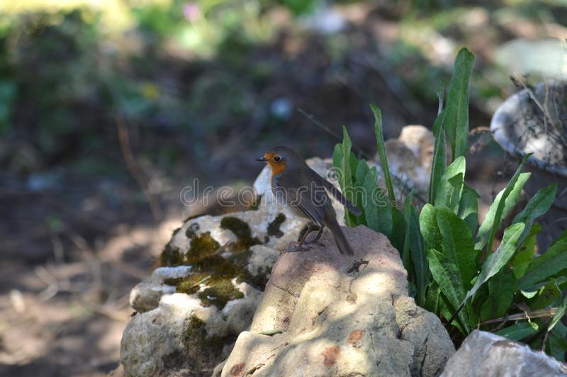 Close-up of a Beautiful European Robin, Robin Redbreast, Nature. Natura Background royalty free stock photo