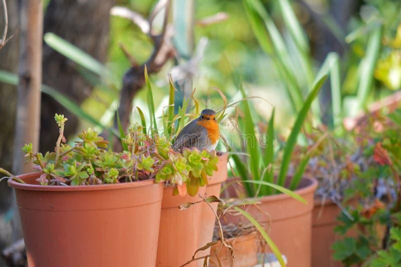 Close-up of a Beautiful European Robin, Robin Redbreast. Animal, Nature royalty free stock photos