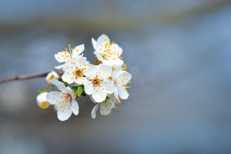 Beautiful European white cherry blossom flower on tree in early spring on blurry blue background royalty free stock photography
