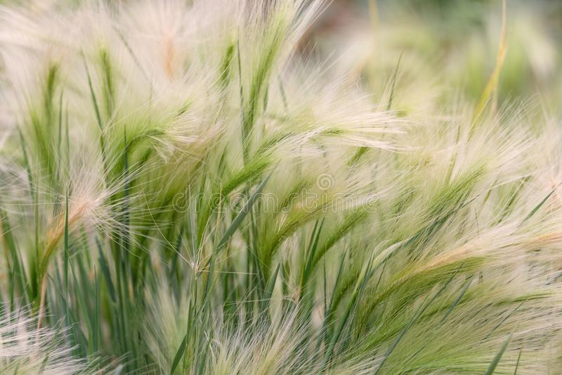 Close-up of a beautiful feather grass with a blur of green grass as a background. Relaxing cold abstract concept of nature. stock image