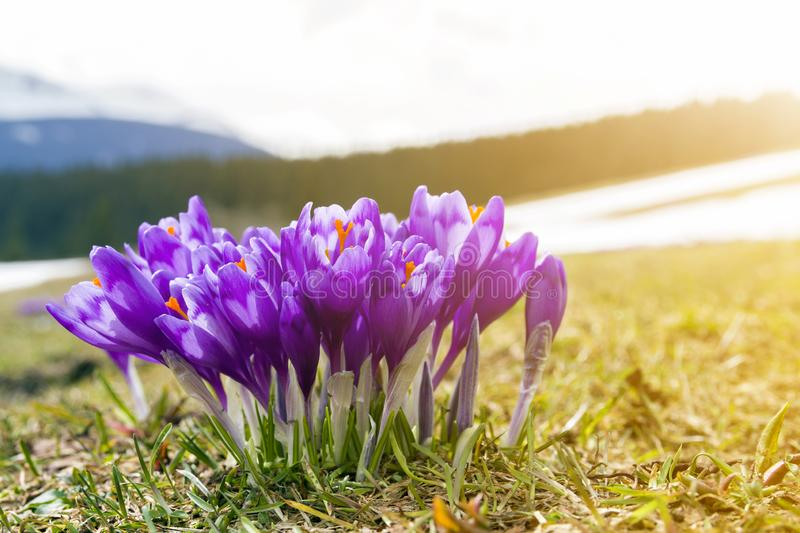 Close-up of beautiful first spring flowers, violet crocuses blooming in Carpathian mountains on bright spring morning on blurred royalty free stock photo
