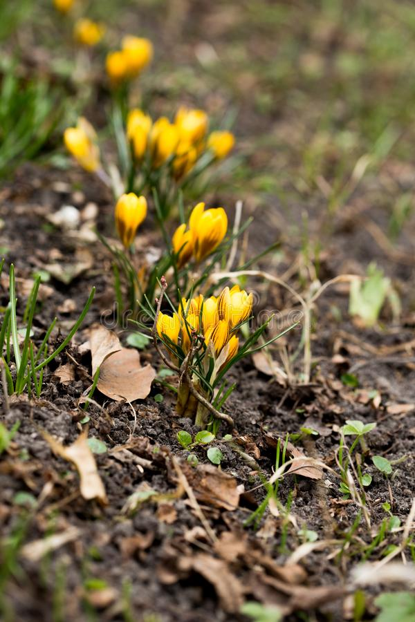 Close-up of beautiful Flowering Crocus Flowers in Spring. View of Blooming Crocuses on a Meadow in the Morning Light. Lilac Crocus stock image