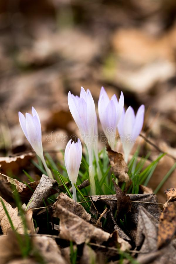 Close-up of beautiful Flowering Crocus Flowers in Spring. View of Blooming Crocuses on a Meadow in the Morning Light. Lilac Crocus stock photos
