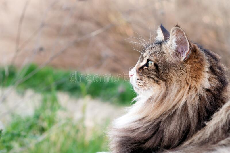 Close up of a beautiful fluffy norwegian forest cat looking forward. Profile view. Cat Portrait. Look forward concept royalty free stock images