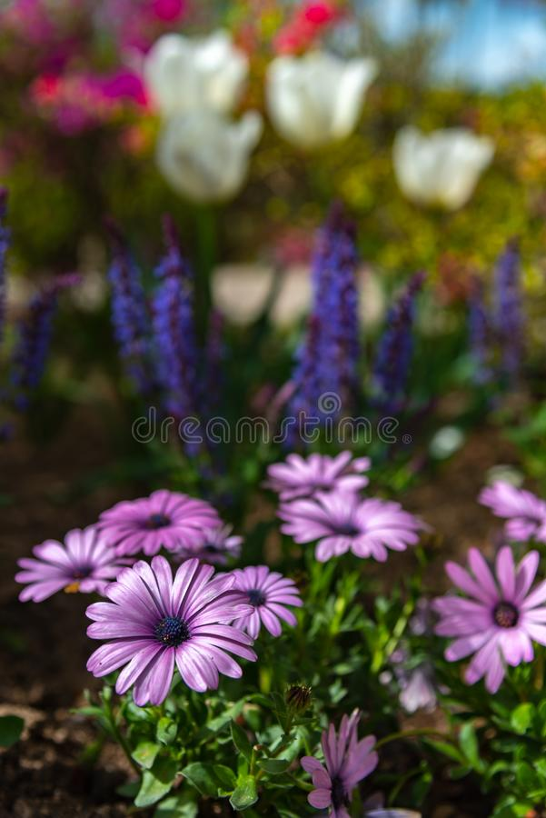 Close-up beautiful full bloom of pink purple white chrysanthemum royalty free stock photo
